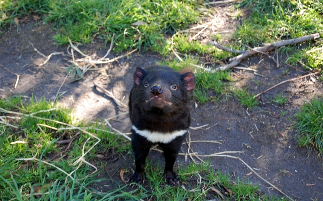 Mleko diabła tasmańskiego zawiera silne antybiotyki